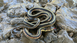 The Harmless Garter Snake Is Your Garden's Best Friend