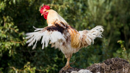 What the Cluck? How a Hen Turned Into a Rooster