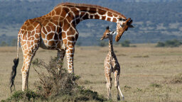 Baby Giraffes Get Their Spots From Mom