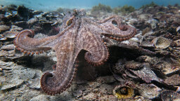 Turns Out 'Gloomy' Octopus Craves Socialization