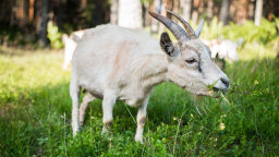 Grass Gobbling Goats Are Gardening Away at O'Hare, Google
