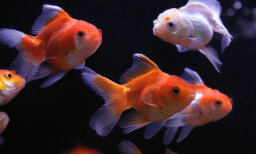 The Ultimate Goldfish Quiz