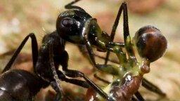 Exploding Ants Kill With Toxic Goo