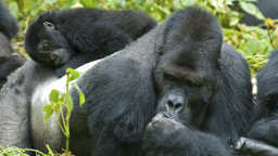 9 Big Hairy Facts About Gorillas