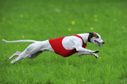Do you need to take a pet greyhound on runs?