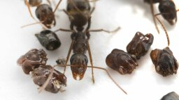 Headhunter Ants Decorate Their Nests With Skulls