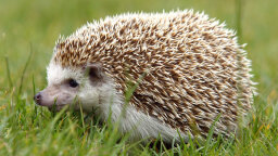 Hedgehogs: Adorable, But Not Good Pets