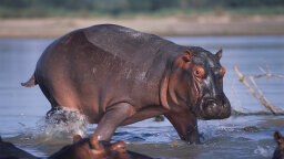 How Does a Hippo Make Its Own Sunscreen?