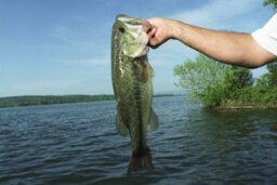 How Top Water Bass Fishing Works