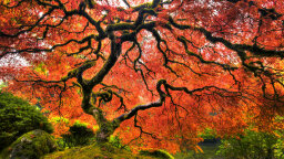 How to Care for a Japanese Maple Tree