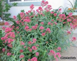 Jupiter's Beard, Red Valerian