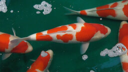 Koi Fish: Shining Jewels of the Water Garden