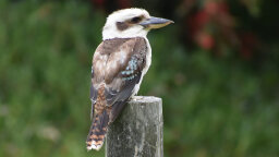 Why Does the Kookaburra Laugh?
