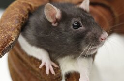 Are lab rats really prone to cancer?
