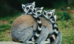 The Ultimate Madagascar Lemurs Quiz