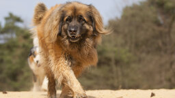 The Lowdown on the Lion-like Leonberger