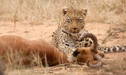 How do leopards kill animals larger than they are?