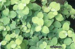 Licorice Plant