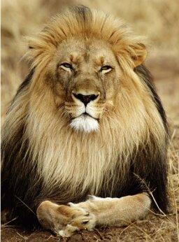 Top 5 Strange Lion Facts