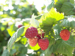 Are all wild berries poisonous?