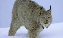 Amazing Animals: Lynx Quiz