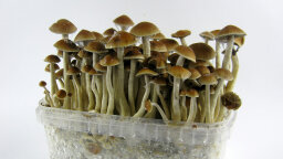 How Magic Mushrooms Work