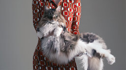 Maine Coon Cats: Gentle Giants of the Feline World
