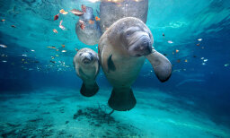 Can manatees see underwater?