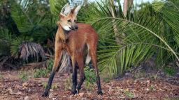 Is It a Fox on Stilts? Nope, It's a Maned Wolf!