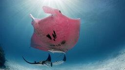 Meet Inspector Clouseau, Australia's Neon Pink Manta Ray