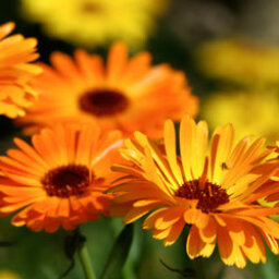 5 Annuals for the Northeast
