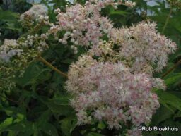 Meadowsweet, Queen-of-the-Prairie
