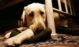 How can you tell if your dog has coccidia?
