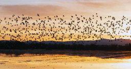 Pop-up Wetlands Helping Migrating Shorebirds