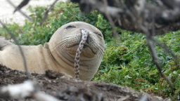 Why Do Monk Seals Get Eels Up Their Noses?