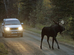 Do moose really walk the streets of Alaskan cities?
