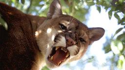 6 Big Cats Still Found Wild in the U.S.