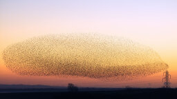 The Secrets and Science Behind Starling Murmurations