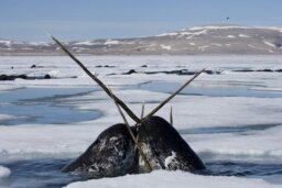 How Narwhals Work