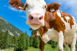 What if cows didn't exist?
