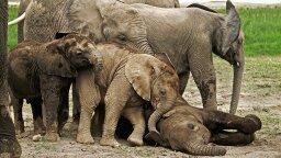 Some Wild Elephants Need Only Two Hours of Sleep