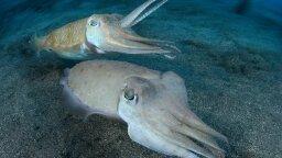 Watch Cuttlefish Brawl Over a Mate in Unprecedented Video