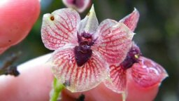 Newly Discovered Orchid Sports Freaky Little Demon Face