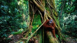 Why There Are More Sumatran Orangutans Than We Previously Thought