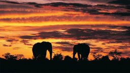 African Elephants Are in Trouble, New Census Finds