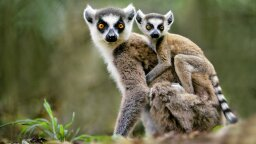 Madagascar's Most Famous Species Is Near Extinction