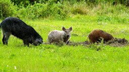 The U.S. Wild Pig Population Is Exploding