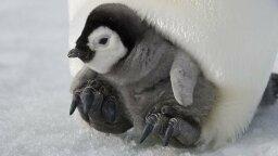 Penguins All the Way in Antarctica Have Bird Flu, Too
