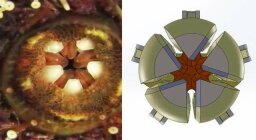 Nightmarish Sea Urchin Teeth Inspire New Space Exploration Claw