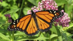 Monarch Butterfly Population Blooms This Year